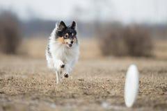 De herdershond die van Shetland schijf vangen royalty-vrije stock fotografie