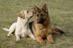 De herdershond en de Labrador van Moskou. stock afbeeldingen