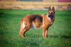 De herdershond van Duitsland stock afbeelding