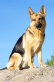 De herdershond van Duitsland royalty-vrije stock foto's