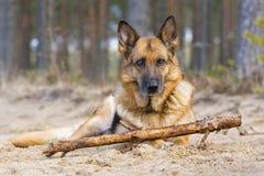 De herdershond van Duitsland stock afbeeldingen