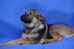 De herdershond van het kruisingspuppy Stock Foto