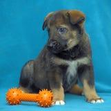 De herdershond van het kruisingspuppy op een blauwe achtergrond Royalty-vrije Stock Foto's