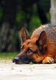 De herdershond van het verdriet Stock Afbeeldingen