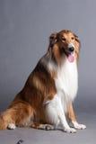 De herdershond van Schotland royalty-vrije stock fotografie