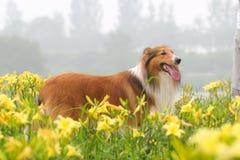 De herdershond van Schotland royalty-vrije stock foto