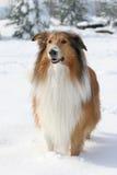 De herdershond van Schotland stock afbeelding
