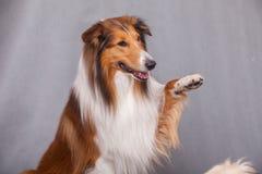 De herdershond van Schotland royalty-vrije stock foto's