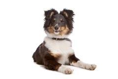 De herdershond van Shetland royalty-vrije stock fotografie