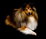 De herdershond van Shetland stock foto