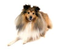 De herdershond van Shetland stock afbeelding