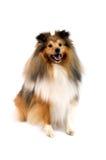 De herdershond van Shetland royalty-vrije stock foto's