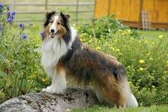 De Herdershond van Shetland Royalty-vrije Stock Foto