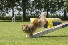 De herdershond van Shetland het juming van een gang van de behendigheidshond van s wordt gezien dat stock afbeeldingen