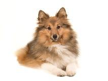 De herdershond van Shetland het liggen stock fotografie
