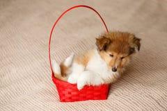 De Herdershond van Shetland Het pluizige puppy van de zittings sheltie hond stock foto