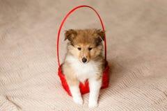 De Herdershond van Shetland Het pluizige puppy van de zittings sheltie hond stock fotografie