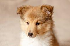 De Herdershond van Shetland Het pluizige puppy van de zittings sheltie hond royalty-vrije stock fotografie