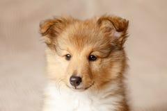 De Herdershond van Shetland Het pluizige puppy van de zittings sheltie hond royalty-vrije stock foto's