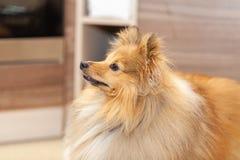De herdershond van Shetland kijkt aan zijn eigenaar in een keuken stock foto's
