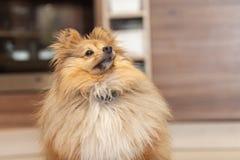 De herdershond van Shetland kijkt aan zijn eigenaar in een keuken royalty-vrije stock fotografie