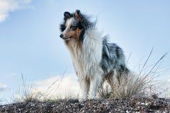 De herdershond van Shetland met blauwe hemelachtergrond stock foto's