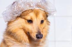 De herdershond van Shetland onder douche royalty-vrije stock foto's