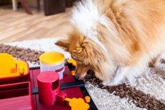De Herdershond van Shetland op een hondstuk speelgoed royalty-vrije stock foto