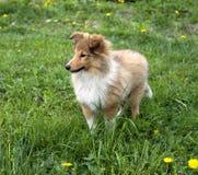 De herdershond van Shetland in openlucht Royalty-vrije Stock Afbeelding