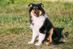 De Herdershond van Shetland, Sheltie, Collie Puppy Stock Afbeeldingen