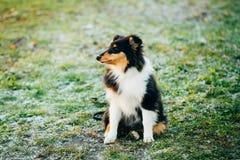De Herdershond van Shetland, Sheltie, Collie Puppy Outdoor stock foto