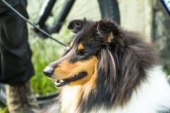 De Herdershond van Shetland, Sheltie, de hond dichte omhooggaand van de Colliesnuit stock foto