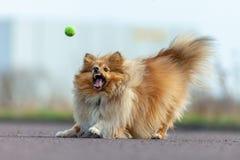 De herdershond van Shetland vangt een kleine bal stock afbeelding