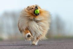 De herdershond van Shetland vangt een kleine bal royalty-vrije stock foto's