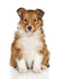 De herdershondpuppy van Shetland stock fotografie