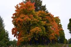De herfst, aard, de herfst bos Bewolkte hemel Gouden de herfstbladeren Royalty-vrije Stock Foto