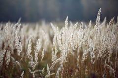 De herfst achter van het zeggegras zaden als achtergrond Stock Afbeelding
