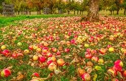 De herfst in de appeltuin stock foto's