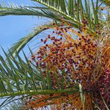 De herfst Bladeren en vruchten van datumpalm tegen blauwe hemel royalty-vrije stock afbeelding