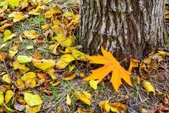 De herfst in bos, geel esdoornblad op gras Stock Fotografie