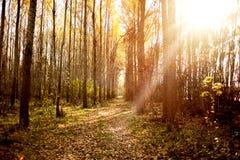 De herfst boslandschap met lage zon die kleine bomen verlichten Royalty-vrije Stock Foto