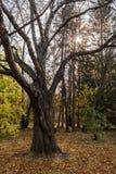 De herfst boslandschap met naakte verdraaiende boom en zon die door takken glanzen stock foto