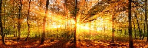 De herfst bospanorama met levendige gouden zonnestralen stock afbeeldingen
