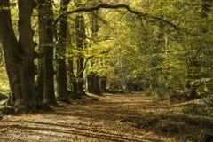 De herfst bosweg, golitha, cornwall, het UK royalty-vrije stock fotografie
