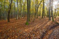 De herfst boszonneschijn Royalty-vrije Stock Foto's