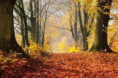 De herfst, dalings bosweg van rode bladeren naar licht Stock Foto