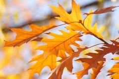 De herfst/Dalingshemelachtergrond - Gouden bladeren Royalty-vrije Stock Afbeeldingen