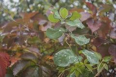 De herfst De dalingen van regen vielen op het Klimopblad Stock Afbeelding