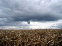 De herfst De droge maïs van het gebied Stock Afbeelding
