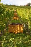 De herfst in de wijngaard Stock Afbeelding